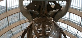 Skeleton of a whale Natural History Mus. Budapest