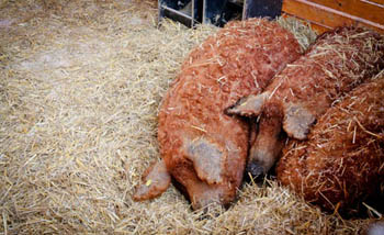 3 pigs with red fur lying next to each other on straw