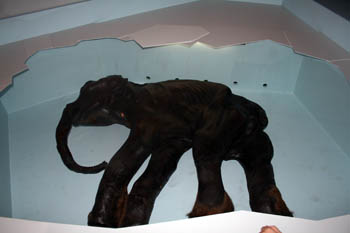 body of a preserved baby mammoth from the Ice Age